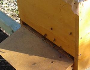 Der Bienenstock misst nur ca. 50 cm Länge, Breite und TIefe, aber es finden dort rund 30.000 (dreißigtausend!) Bienen Platz!