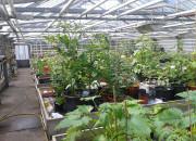 Im Gewächshaus sind regenempfindliche Pflanzen bestens aufgehoben.