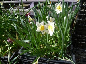 aktuelles-2015-05-tulpen-narzissenkiste-1