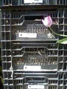 aktuelles-2015-05-tulpen-narzissenkiste-2