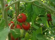 2013 TomatOS Einblicke Impressionen Juli 4
