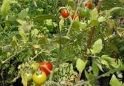 TomatOS - frisch geerntet, frisch auf den Teller - 2