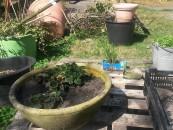 TomatOS-Gartensaison 2015 hat begonnen - 4