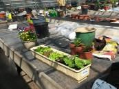 TomatOS-Gartensaison 2015 hat begonnen - 9