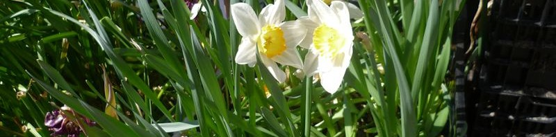Tulpen- und Narzissenkisten auf Spendenbasis